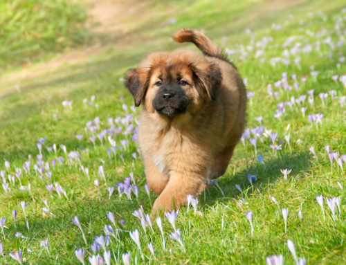 The World's Most Expensive Dog Breeds