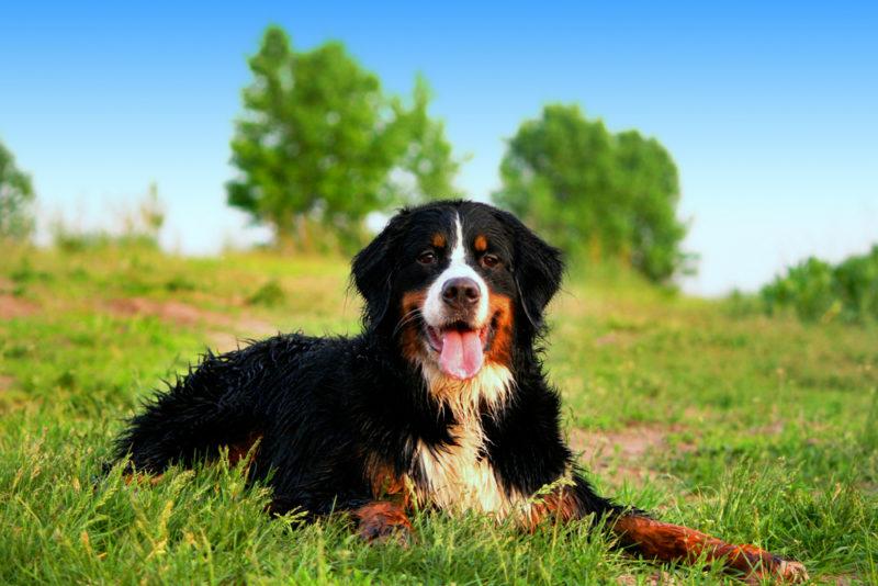 Big Bernese Mountain Dog