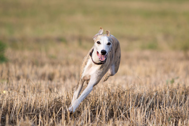 The 15 Fastest Dog Breeds Wagging Mongrel