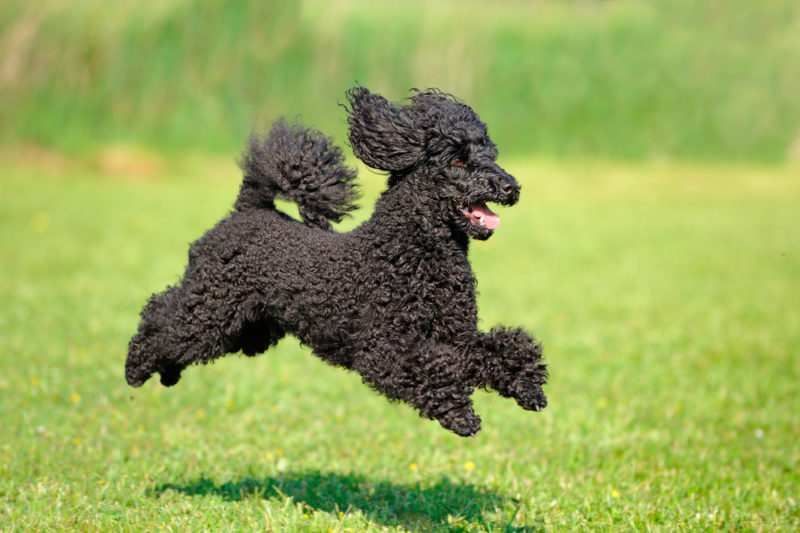 The 15 Fastest Dog Breeds - Wagging Mongrel