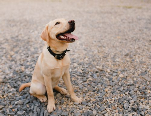Tips For Teaching Your Dog to Sit