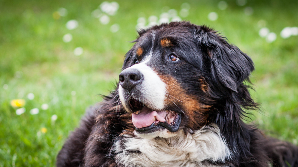 Bernese Mountain Dog Characteristics Wagging Mongrel
