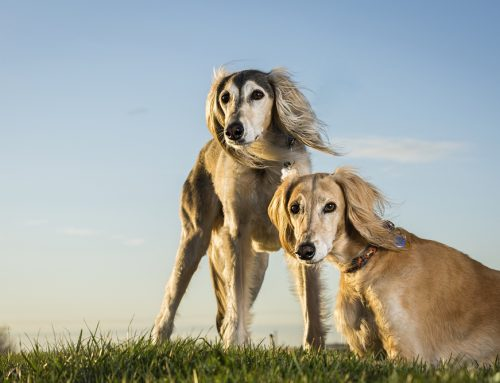 Interesting Facts About the Saluki Dog Breed