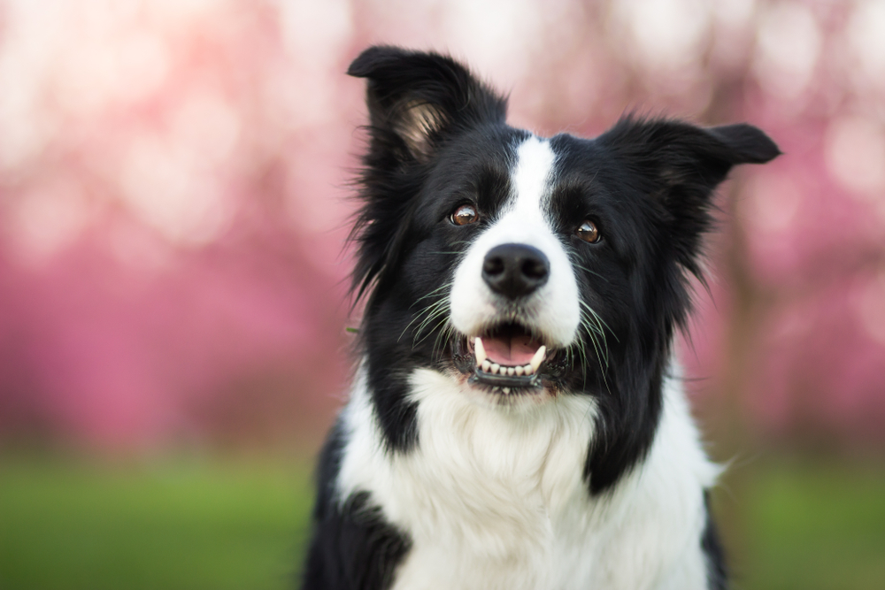Do Border Collies Shed Wagging Mongrel