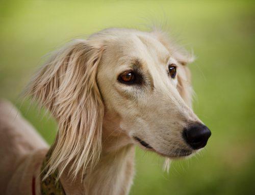 10 Hound Dog Breeds