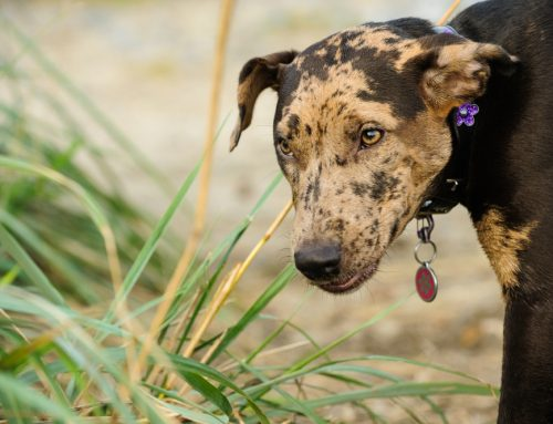 Dog Breeds That Start With C